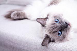 Фото Кошки Глаза Смотрит животное