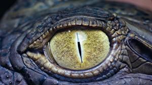 Картинки Крокодилы Глаза Крупным планом животное