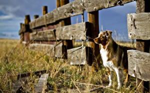 Фотографии Собаки Забор Австралийская овчарка Трава