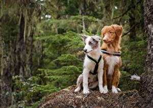 Картинки Собаки Щенок Бордер-колли Вдвоем Животные