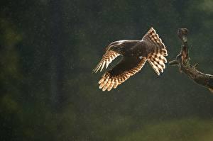 Фотография Ястреб Птицы Eurasian sparrowhawk животное