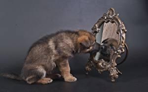 Обои Собаки Щенок Овчарка Зеркало Отражение Животные фото