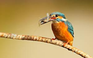 Фотография Птицы Обыкновенный зимородок Ветки kingfisher shrimp