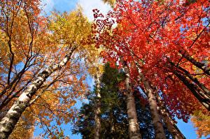 Обои Осень Березы Деревья Ствол дерева Вид снизу Природа фото
