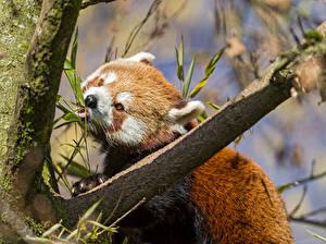 Фото Малая панда Медведь ©Tambako The Jaguar