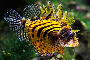 Картинки Рыбы Море Желтая Крылатка