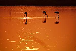 Обои Фламинго Птицы Вода Силуэт Животные