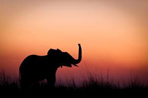 Фотография Слоны Рассветы и закаты Силуэт Животные