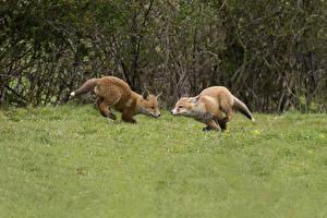 Картинки Лисы 2 Траве Бегущий животное