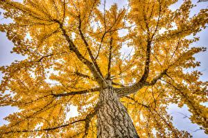 Обои Осень Деревья Ветки Ствол дерева Вид снизу Природа фото