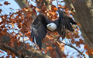 Фотографии Птицы Ястреб Белоголовый орлан