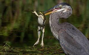Картинка Цапли Лягушки Птицы