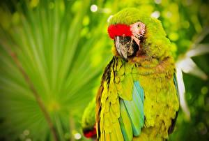 Картинки Птицы Попугаи Ара (род) militaris