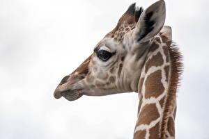 Фотография Жирафы Голова