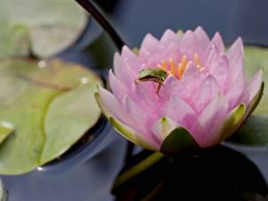 Фотография Лягушки Кувшинки Животные Цветы