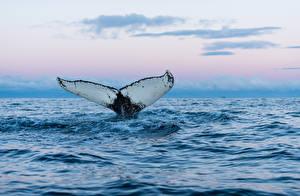 Обои Море Воде Киты Хвост Животные