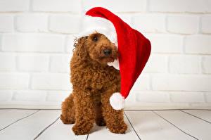 Фото Новый год Собаки Пудель Шапки Животные