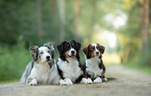 Обои Собаки Австралийская овчарка Животные