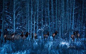 Картинки Парки Канада Лоси Леса Дерева Банф Alberta Природа Животные