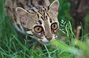 Фотография Кот Глаза Оцелот Взгляд Трава Животные