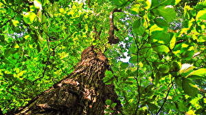 Обои Деревья Ствол дерева Листья Вид снизу Tilia Природа фото