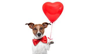 Фотография Собаки Джек-рассел-терьер Воздушный шарик Сердце Животные Юмор