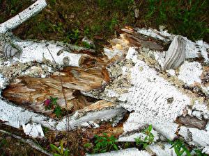Фотография Крупным планом Ствол дерева Березы Природа