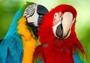 Картинка Птица Попугаи Ара (род) Двое ararauna животное