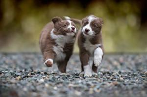 Картинки Собаки Щенок Бордер-колли Бег Вдвоем Животные