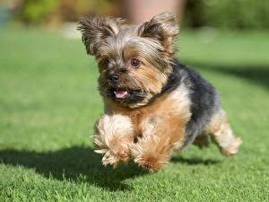 Картинки Собаки Щенок Йоркширский терьер Бег Трава