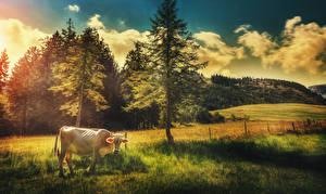 Картинки Поля Коровы Пейзаж Деревья Животные Природа