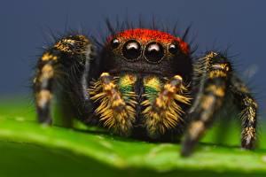 Фото Пауки Крупным планом Глаза Пауки-скакуны животное