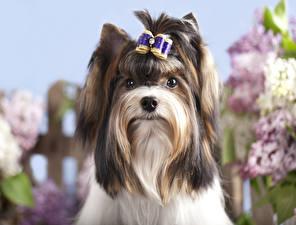 Фотография Собаки Йоркширский терьер Biewer Yorkshire terrier Животные