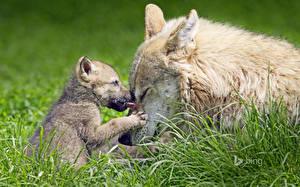 Картинки Волки Детеныши Траве Двое Животные