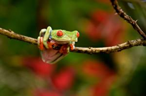 Обои Лягушки Ветвь Red-eyed Tree Frog Животные