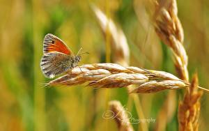 Картинки Бабочки Насекомое Крупным планом Колоски животное