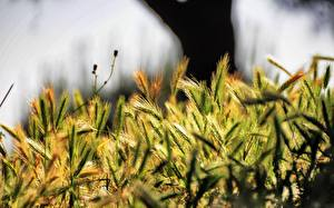 Фотография Вблизи Пшеница Колоски Природа