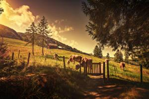 Картинка Коровы Поля Гора Забор Cows ahead Природа Животные