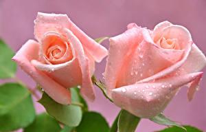 Картинки Розы Крупным планом Розовый Капля Вдвоем цветок