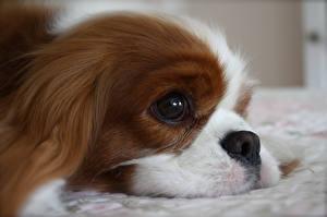 Фотографии Собаки Кинг чарльз спаниель Взгляд Морды животное