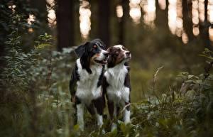 Обои Собаки Австралийская овчарка Двое