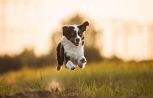 Фотография Собаки Австралийская овчарка Бег Трава