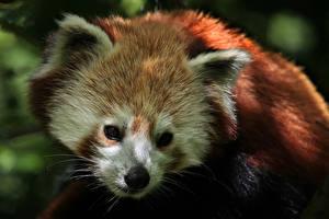 Фотографии Малая панда Медведь red panda