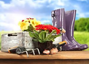 Обои Первоцвет Сапог garden tools lawn and flowers primrose цветок