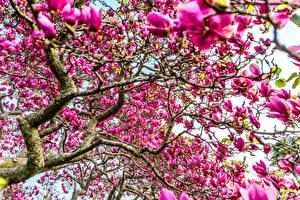 Фотографии Цветущие деревья Магнолия Ветки Розовая цветок