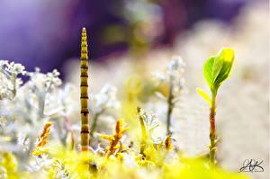 Фотография Крупным планом Мхом Equisetum Природа