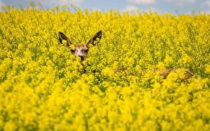 Фотография Олени Поля Рапс Животные