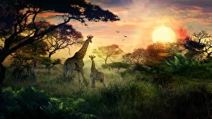 Картинка Жирафы Детеныши Рассветы и закаты Солнце Трава Животные Природа