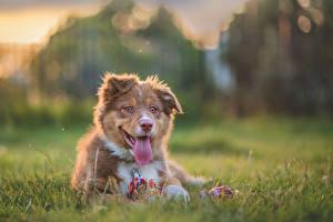 Фотография Собаки Австралийская овчарка Трава