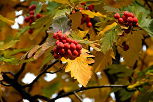 Картинки Ягоды Осенние Рябина Листья